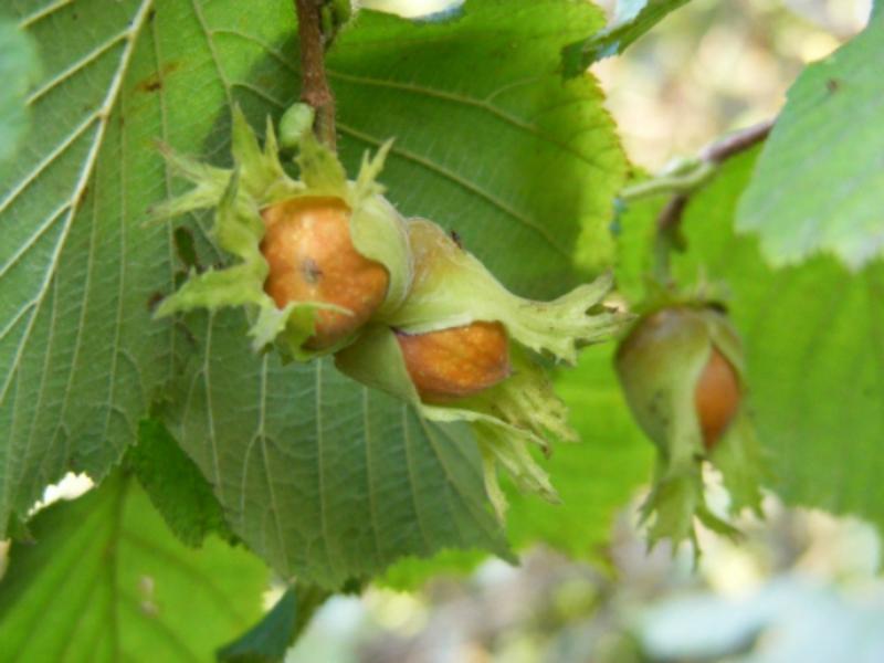 Посадка фундука осенью: советы и хитрости