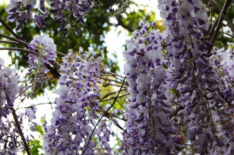 Глициния: уход и выращивание в Подмосковье