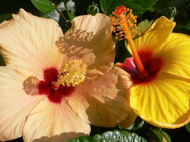 Гибискус травянистый садовый выращивание и уход