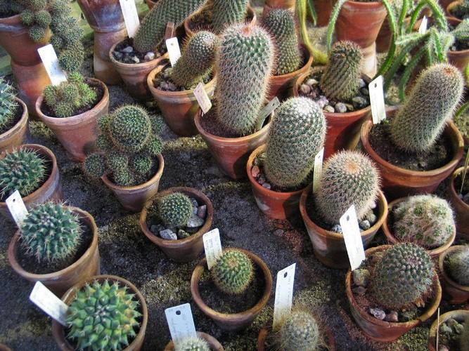 Кактусы уход и выращивание в домашних условиях 43