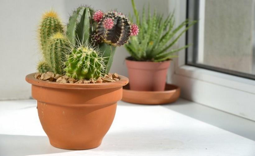 Кактусы уход и выращивание в домашних условиях 92