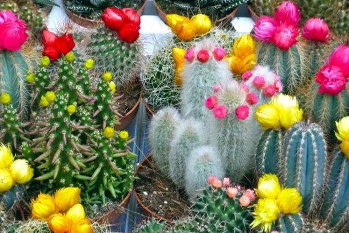 Кактусы уход и выращивание в домашних условиях 10