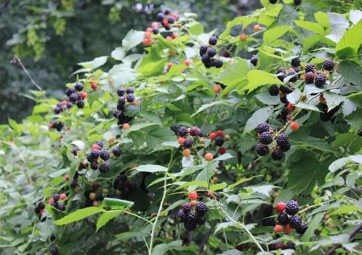 Кумберленд сорт черной малины