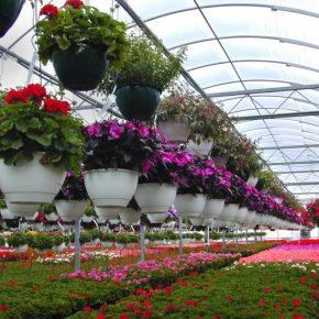 Выращивание цветов в теплице как бизнес
