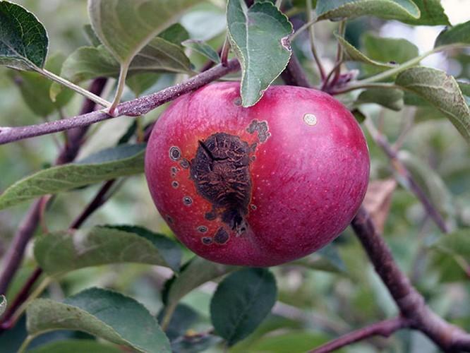 Чем обработать яблони от парши осенью