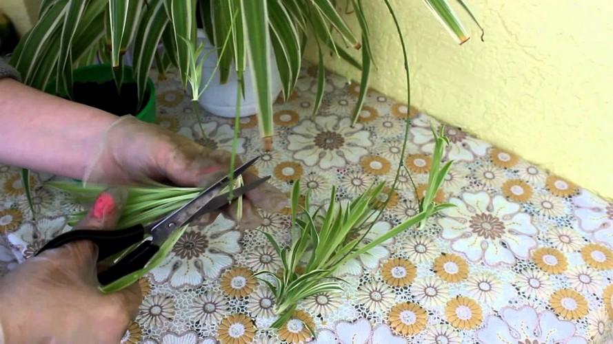 Родина хлорофитума комнатного растения