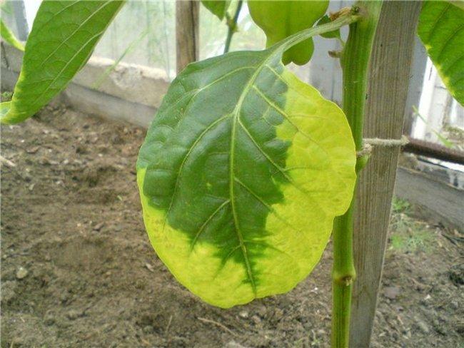 Рассада перца болезни листьев фото как лечить