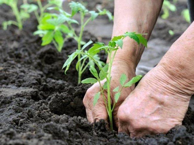 Когда сажать рассаду помидор в 2018 году