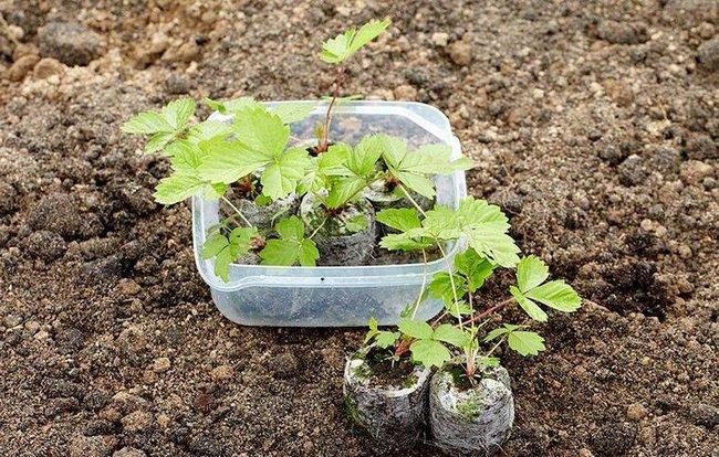 Посев семян клубники на рассаду видео