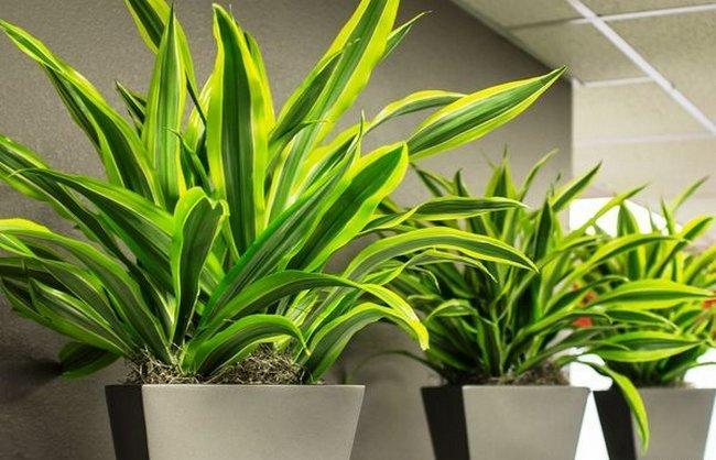 Родина драцены комнатного растения