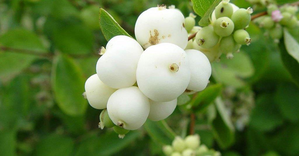 Снежноягодник белый фото и описание