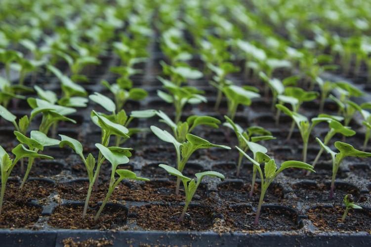 Когда сажать цветную капусту на рассаду?