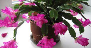 Цветение декабриста в домашних условиях