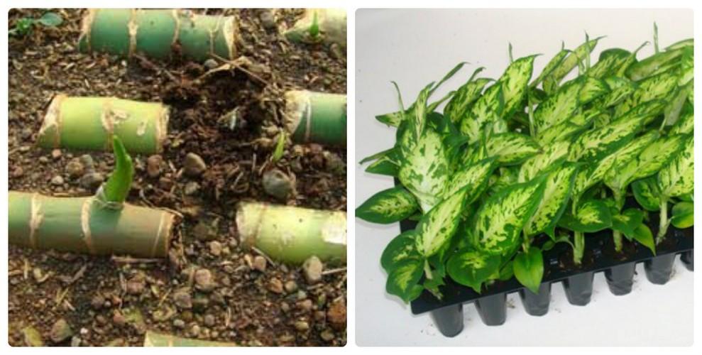 Выращивание диффенбахии и уход в домашних условиях: фото