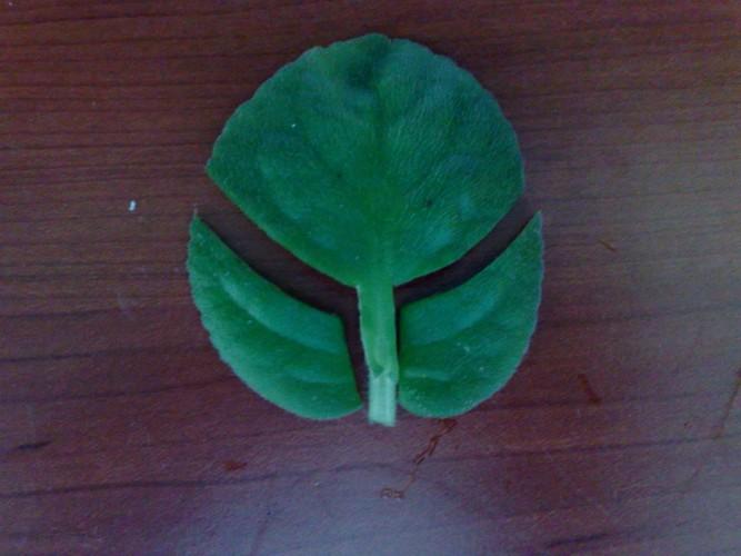 Как размножить фиалку листом в домашних условиях?