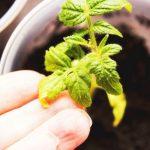 Рассада помидор: почему желтеют верхние листья?