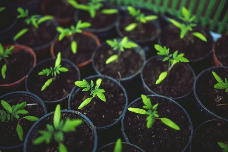 Как вырастить рассаду помидор в домашних условиях?