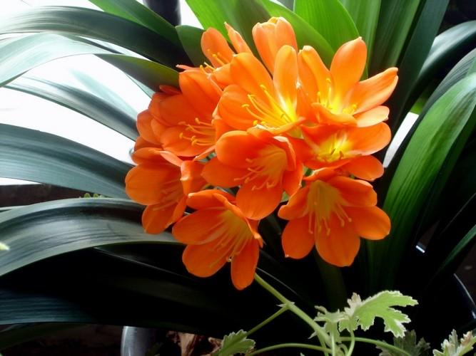 Почему не цветет кливия в домашних условиях?