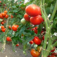 Как вырастить помидоры без рассады?