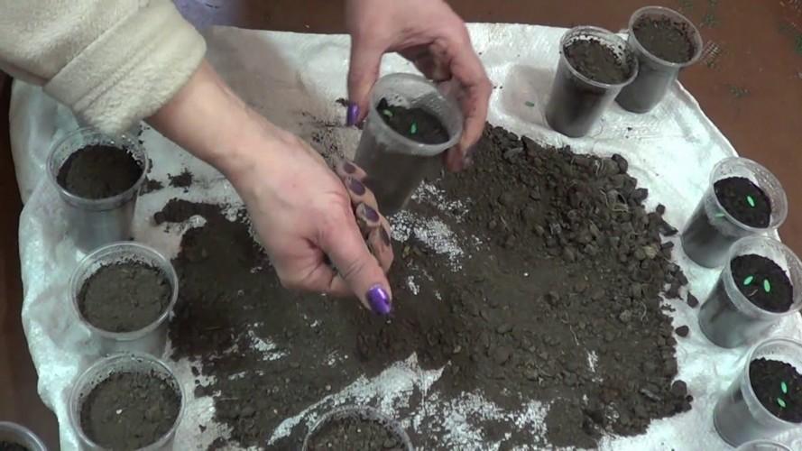 Как правильно посадить рассаду огурцов?