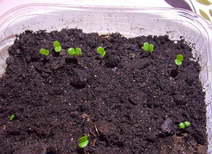 Виола: посев семян на рассаду