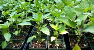 Выращивание рассады болгарского перца в домашних условиях