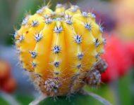 Разновидности кактусов: фото и названия