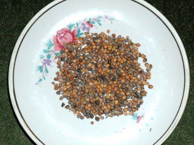 Замачивание семян в водке перед посевом