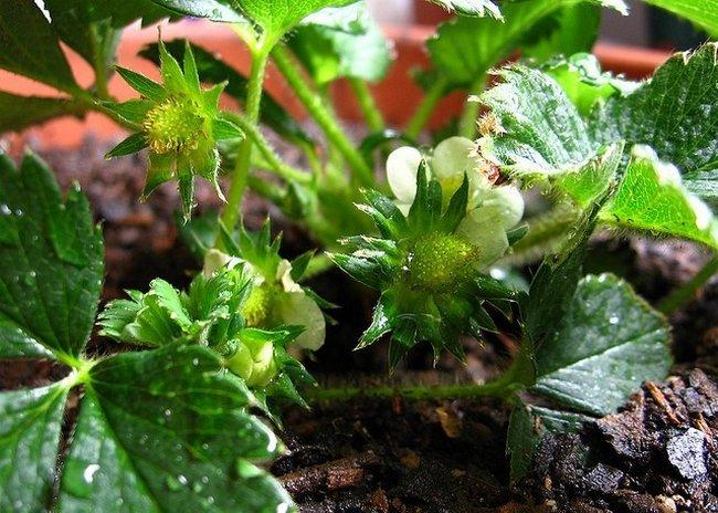 Борная кислота применение в саду и огороде