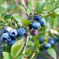 Голубика садовая: посадка и уход, фото