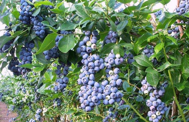 Голубика садовая посадка и уход фото
