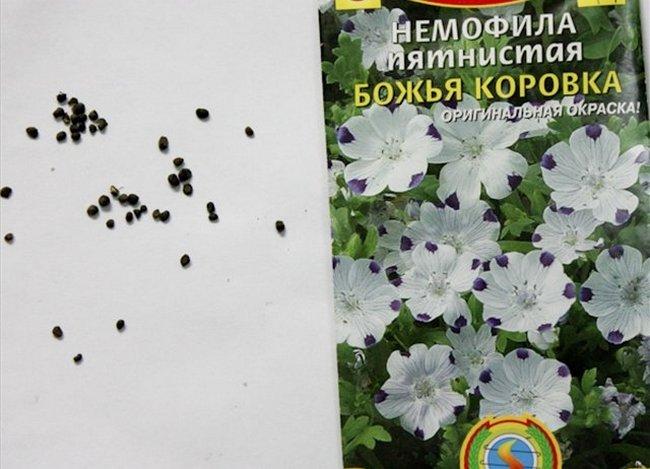 Немофила выращивание из семян когда сажать