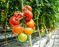 Самые вкусные сорта томатов для теплиц