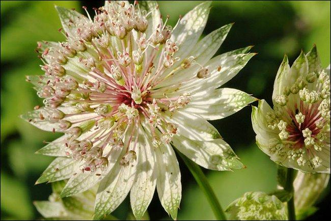 Астранция: травянистые растения для открытого грунта