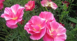 Какие цветы сажать в апреле в открытый грунт