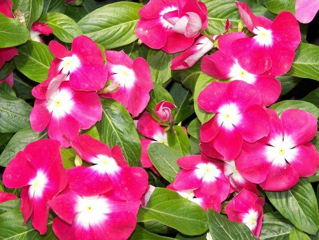 Катарантус фото цветов