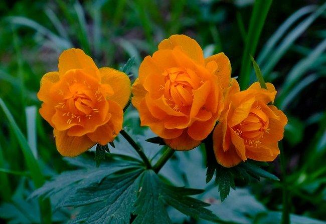 Купальница цветок фото