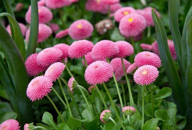 Маргаритки цветы фото