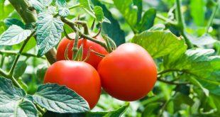 Пасынкование помидор в теплице из поликарбоната