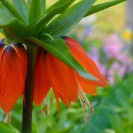 Рябчик императорский: фото цветов