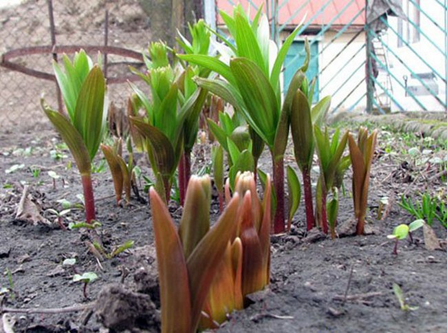 Рябчик императорский фото цветок