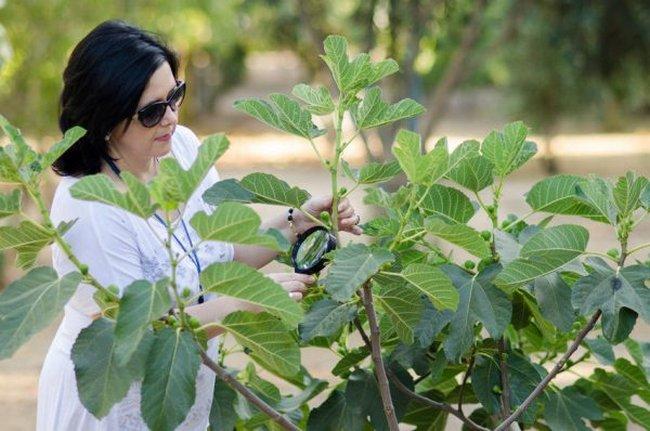 Выращивание инжира в открытом грунте