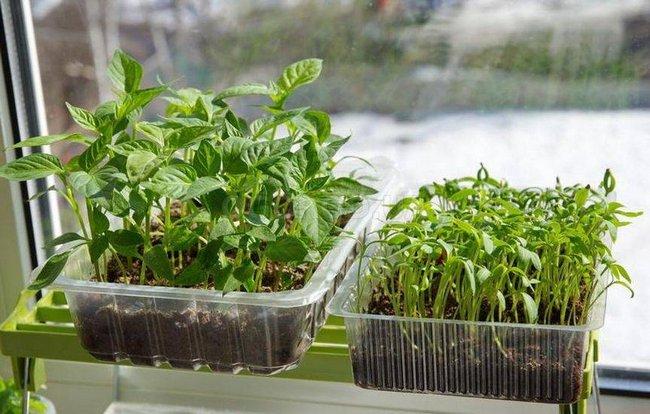 Закаливание семян перца на рассаду