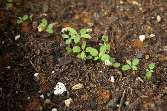 Алиссум выращивание из семян когда сажать на рассаду