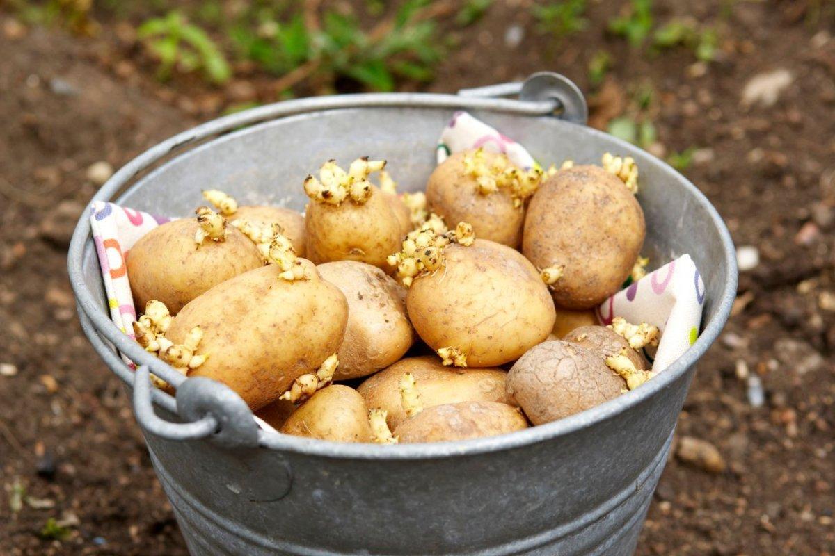Чем обработать картофель от проволочника перед посадкой