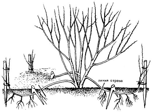 Кампсис: посадка и уход в открытом грунте
