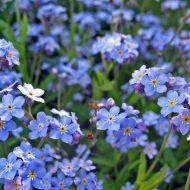 Незабудка: выращивание из семян, когда сажать