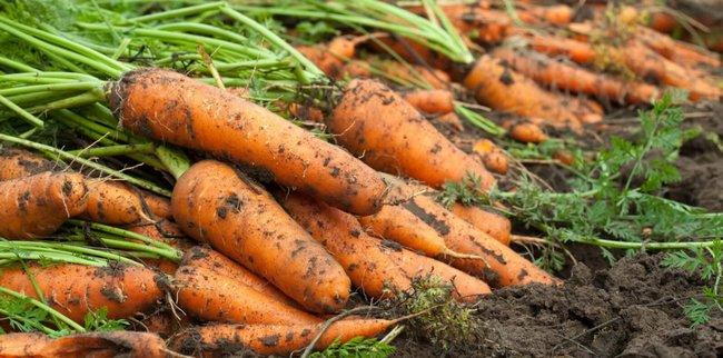 Посадка моркови в 2018 году по лунному календарю