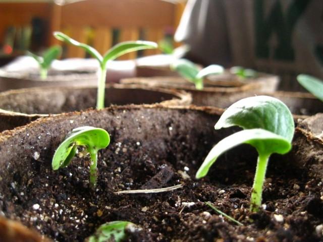 Когда садить огурцы на рассаду в 2018 году по лунному календарю?