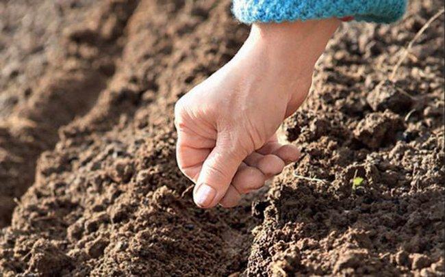 Василек махровый выращивание из семян когда сажать
